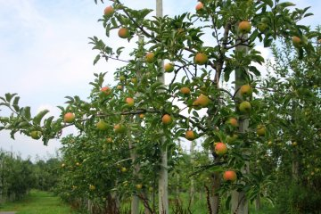 <p>The apples of Hirosaki</p>
