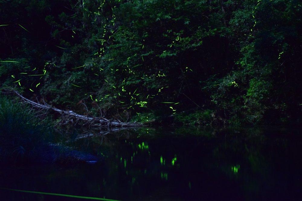 Entre maio e junho, voam pirilampos sobre o rio