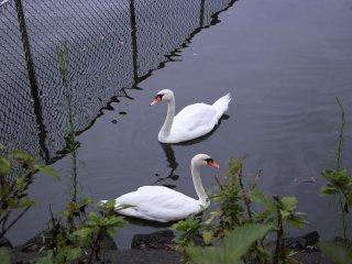 Лебеди подплыли очень близко