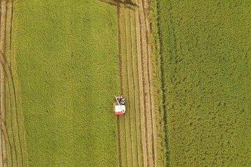 후쿠이 현에서의 수확한 쌀 모으기