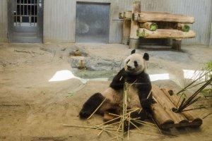 حيوان الباندا النادر