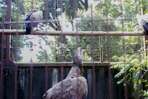 طائر النسر وهذا النوع من امريكا الجنوبية