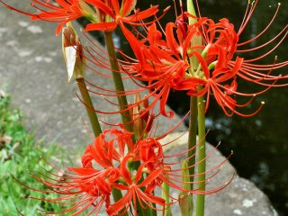The flowers are also known as higanbana