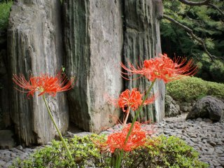 Higanbana in front of rocks set up to resemble a folding screen
