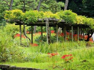 Spider lilies bloom under the garden's wisteria trellis