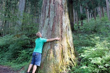 <p>A giant 300+ year old cedar tree near Kashiwagi</p>