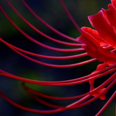 Lone Spider Lily at Twilight