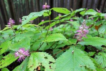 <p>A mint-like wild flower</p>