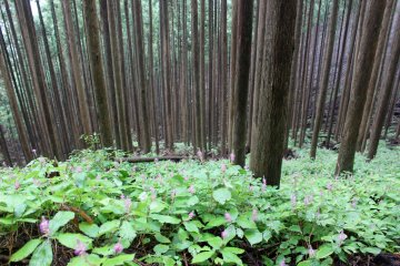 <p>It forms a carpet in much of the forests and cedar plantations on the lower slopes of Mt. Omine</p>