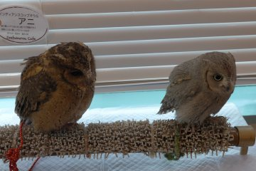 <p>There are different types of owls, and some of them are quite tiny.&nbsp;</p>