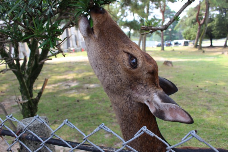 <p>In the interest of resident and guest safety, specialists from Kasuga Shrine have cut the antlers off male deer every October since 1671</p>