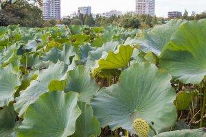 Les lotus sur le lac Shinobazu