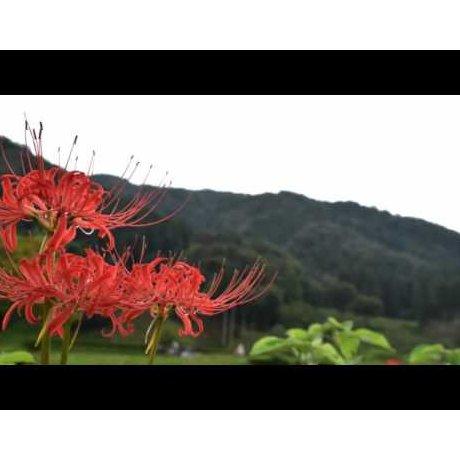 Bỉ Ngạn hoa tại di tích Asakura