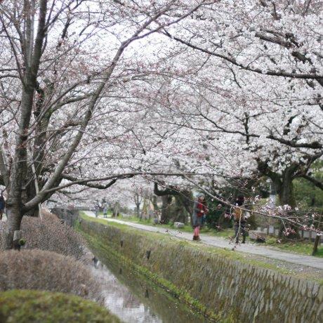 Les Sakura en Fleurs de Kyoto