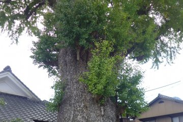 <p>There&#39;s an ancient ginkgo tree here that&#39;s registered as an official natural monument&nbsp;</p>