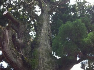You could probably get about 10 people holding hand to hand round the cedar tree at Gion-ji Temple