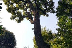 긴 세월을 버티고 서 있는 근엄한 모습의 녹나무.정원에는 이런 아름드리 나무들이 여기저기 서 있다.