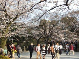 Promenade sous les cerisiers