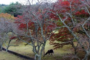 A pony grazes under red maples