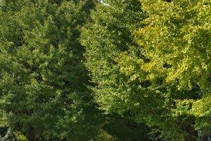 교정을 서쪽으로 걸어 코마바 공원으로 가는 길의 은행나무 가로수.