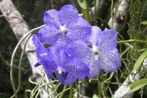 Une orchidée bleue