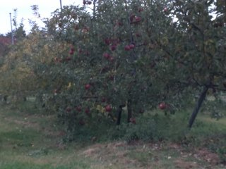 "Fuji apples in the vineyard's apple tree grove. Apples need to develop a bit more ""mitsu"" (honey) in the core before picking in October."