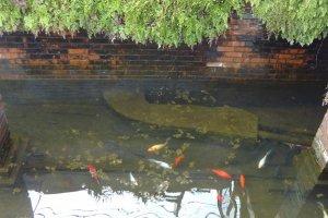赤や白の鯉が泳いでいる