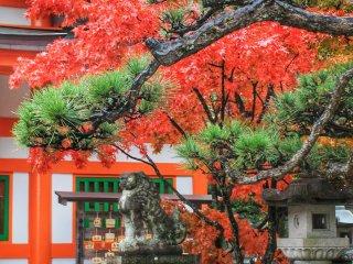Зеленые хвойные деревья контрастируют с красными кленовыми листьями