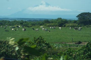 <p>Cattle everywhere</p>