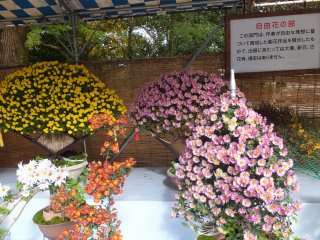 Varieties of Chrysanthemum plants.Its really awesome!