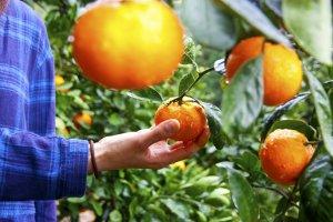 ส้มผลใหญ่ สดใหม่ อร่อย สามารถเก็บสดๆ จากต้นด้วยมือเปล่าๆ ได้เลย