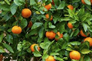 ต้นส้มต้นเล็กแต่ผลดกและลูกใหญ่มาก