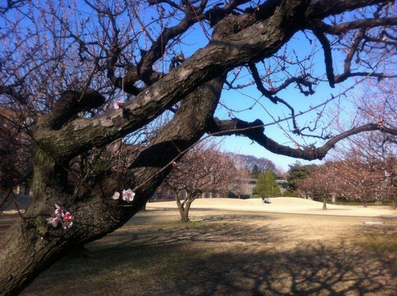 Early spring, ume tree flowering
