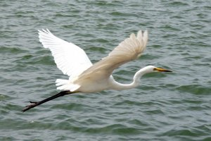 A Great Egret takes off from the shoreline