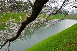 เส้นทางเดิน ชิโดะริกะฟุชิเป็นหนึ่งในสถานที่ที่ได้รับความนิยมมากในการชมดอกซากุระในญี่ปุ่น