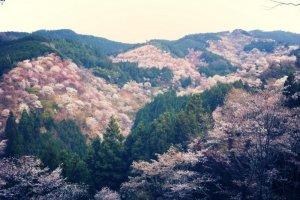 ภูเขาโยชิโนะ ในนารา ไปชมดอกซากุระที่นี่อาจจะทำให้คุณเพ้อถึงบทกลอนไฮกุ