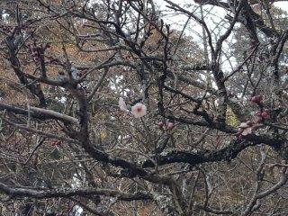 Lebih banyak bunga plum