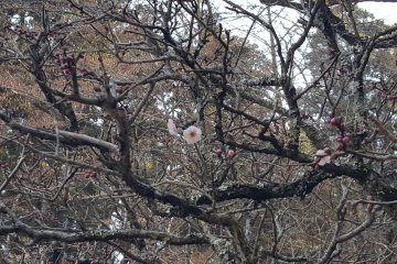 More plum blossoms