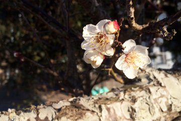 I found blossoms in 4 spots on my morning walk.