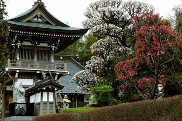 A large plum tree blooms next to the bell tower gate