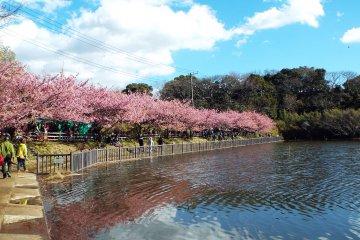 Bunga Sakura Semenanjung Miura