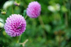 Mt Hiei Flowers