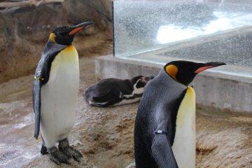 Penguins at Kinosaki Marine World