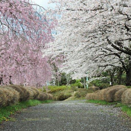 Sakura in Hitsujiyama Park, Saitama