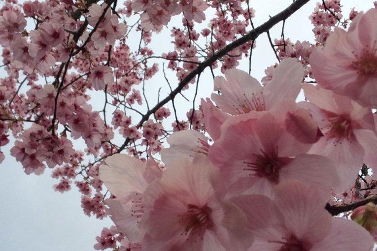 Primeiras Flores de Cerejeira em Chiba