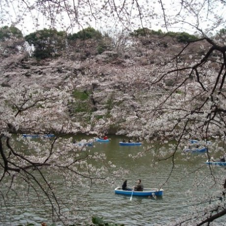 Chasing Cherry Blossoms