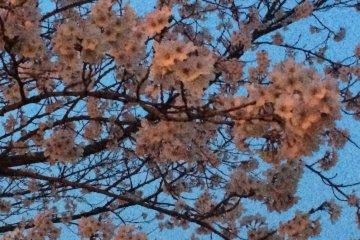 벚꽃은 10분의 8 피우고 (3월 30일 현재)