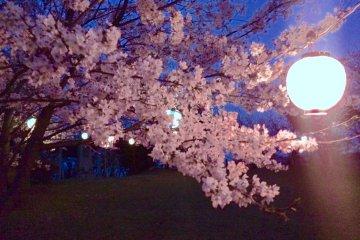 벚꽃잎이 해질녘에는 핑크빛으로 떠오른다
