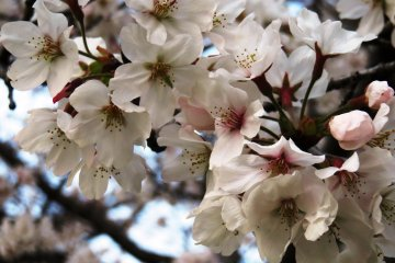 The fleeting beauty of the cherry blossoms