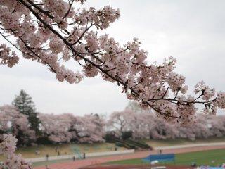 Sakura yang sudah mekar seutuhnya